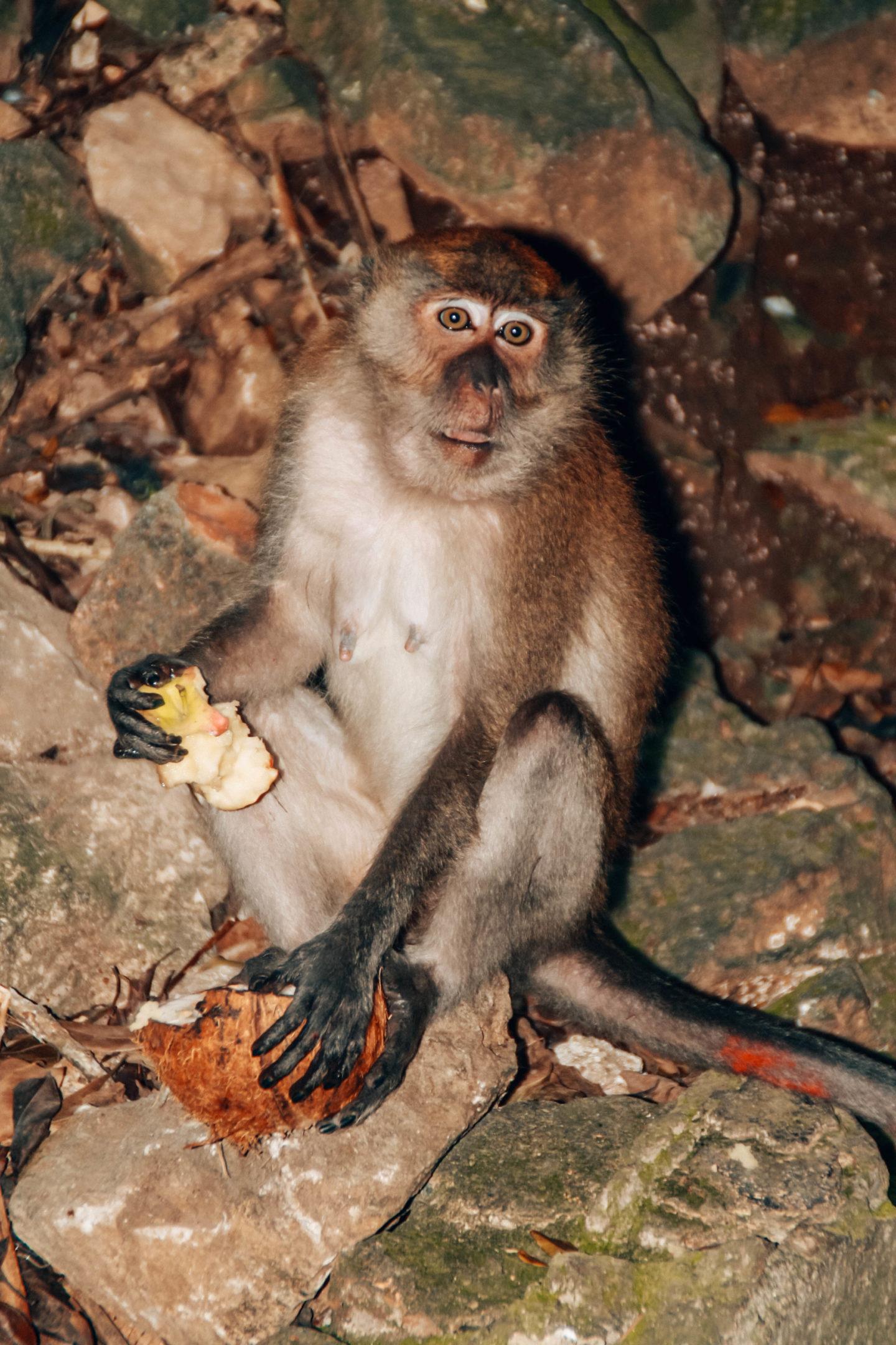 Wild monkey in the Batu Caves Kuala Lumpur