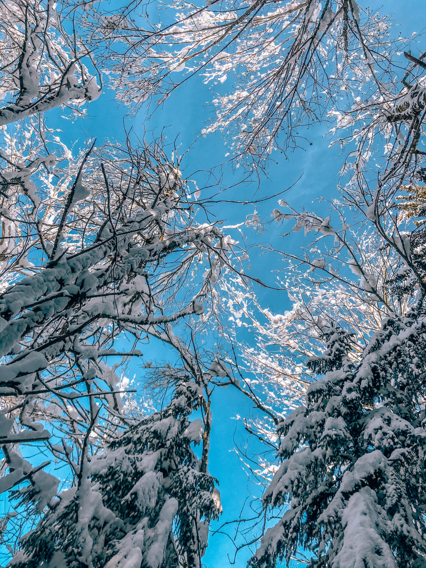Blue skies and trees covered in snow